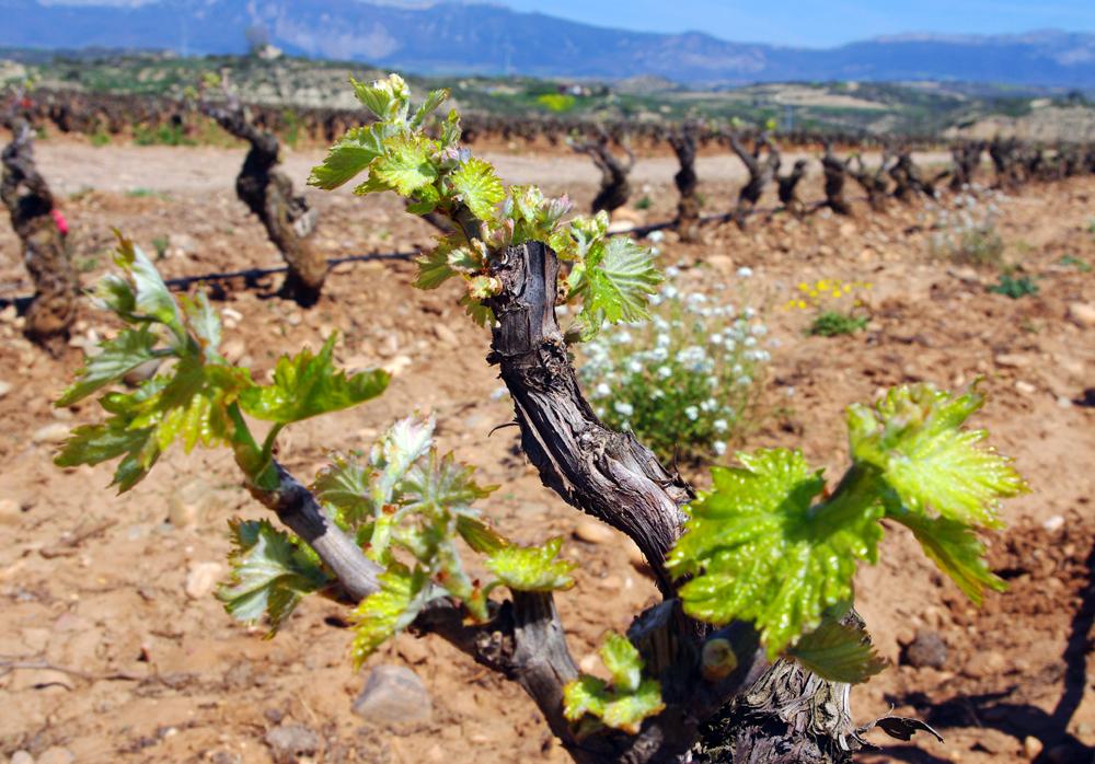 LAN apuesta por la Viticultura Sostenible